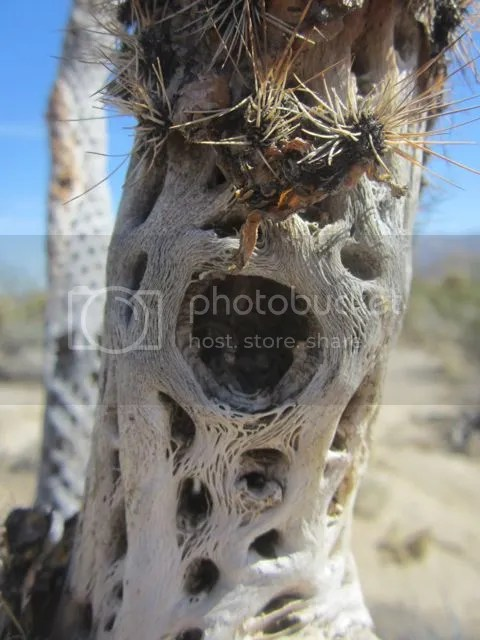 Dead Cholla Cactus photo cholladeadAnzaBo_zpsb3ae68bc.jpg