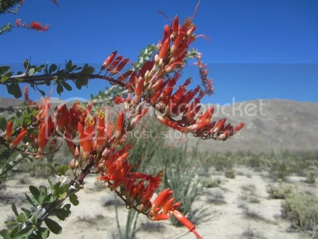 Ocotillo.March.2014 photo ocotillobunch_zps32b84b46.jpg