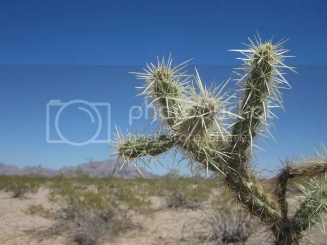 Cholla cactus photo Kofacholla_zps96745241.jpg