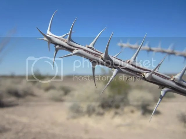Ocotillo thorns photo Kofaocotillothorn_zpse84cd09b.jpg