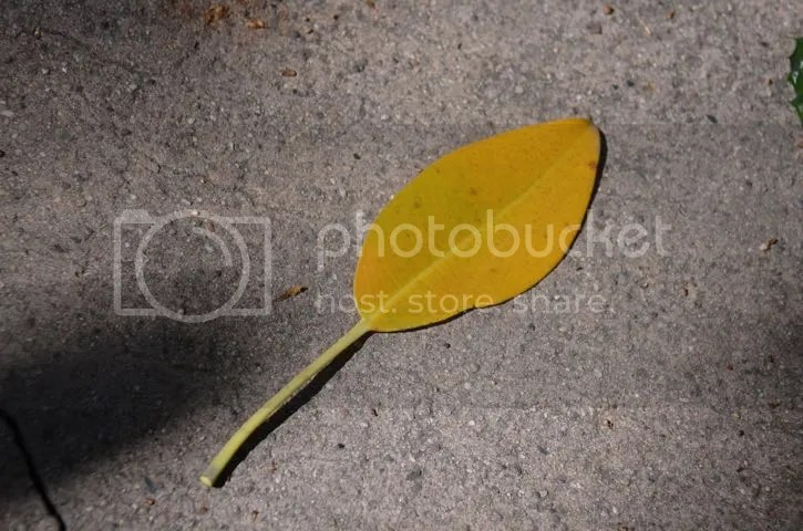 Rancho Los Alamitos.stray leaf photo SoCal.Alamitos.leaf_zpsihao14tm.jpg