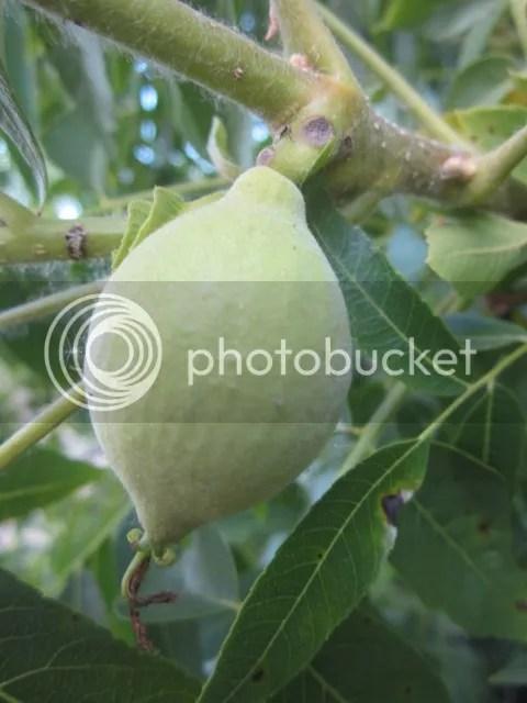 Black walnut photo SoCalJune2013253a_zps1703a8ec.jpg