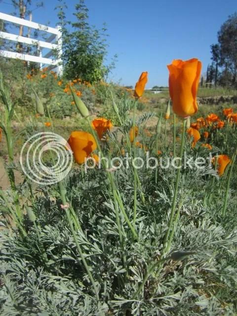 California poppy photo SoCalMarch2013123a_zps47b28447.jpg