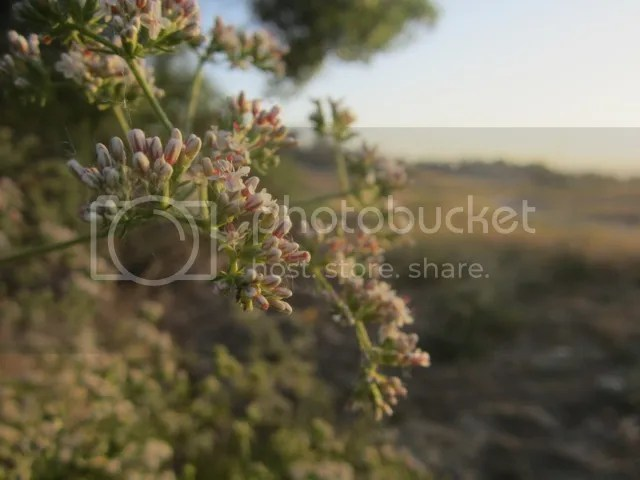 California buckwheat photo SoCalMay2013408a_zps382f5f4b.jpg