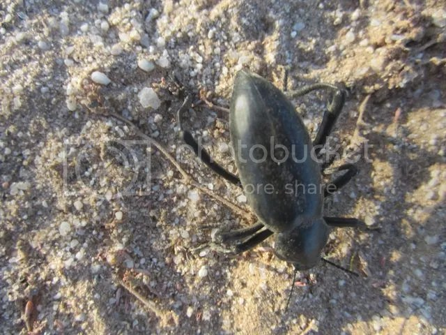 photo Beetle_zps56eac8df.jpg