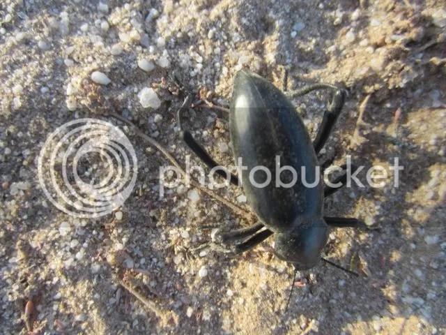 photo Beetle_zps56eac8df.jpg