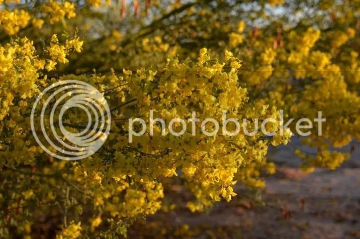 Palo verde in full bloom, March 2016 photo DSC_0223_zps52s7ogol.jpg