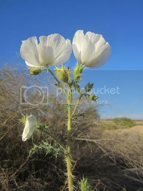 photo Pricklypoppy_zps667dd81a.jpg