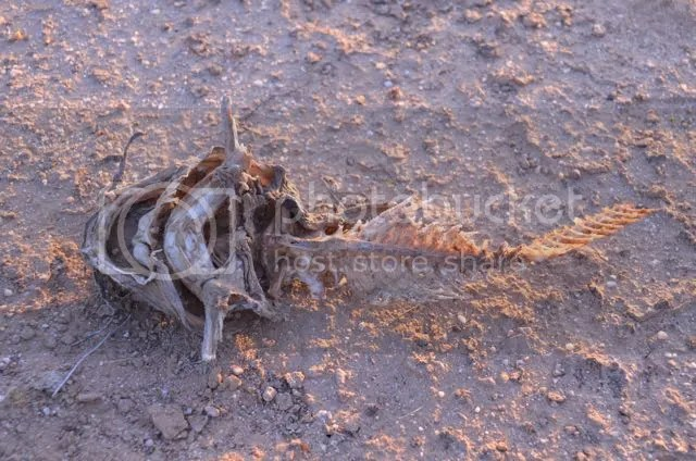 Catfish bones photo Sonoran.catbones_zps28zgg4tj.jpg
