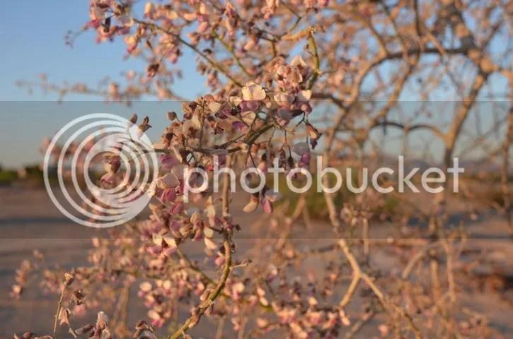 photo Sonoran.ironflower_zpsmd0lepbj.jpg