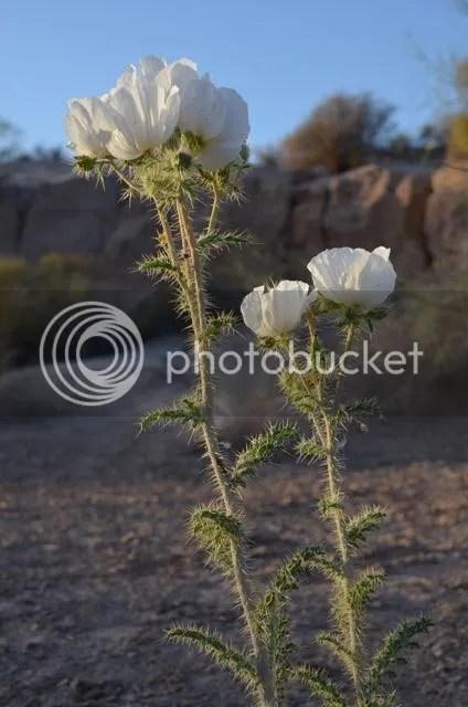Prickly poppy 2015 photo Sonoran.prickly2015_zpskrmihpie.jpg