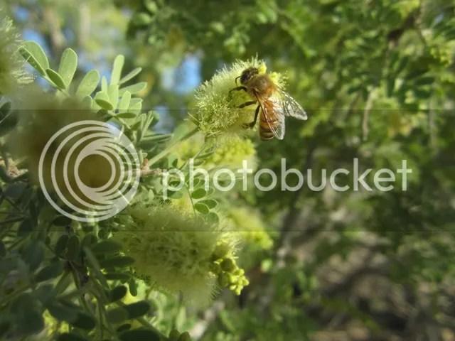 Bee on mesquite blossom photo SonoranApril20132022a_zpsf0f5a6e1.jpg