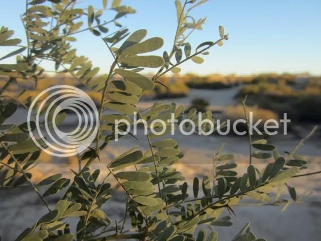 Mesquite leaves photo SonoranFeb2013499a_zpsf04c4a8a.jpg