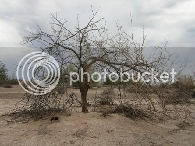 Sonoran storm tree photo SonoranJuly2013321a_zpsb7ec00e3.jpg