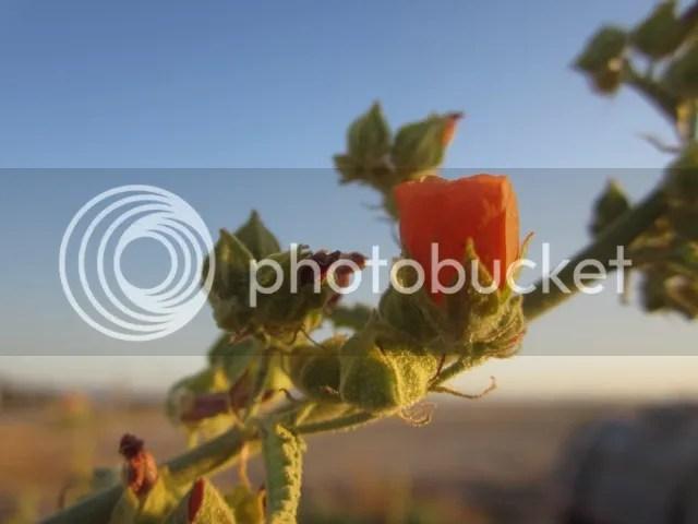 Rose mallow photo SonoranMar20133010a_zps20d00e62.jpg