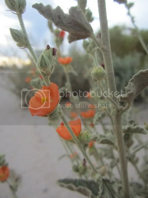Desert globe mallow photo SonoranMar20133376a_zps4c1fab1d.jpg
