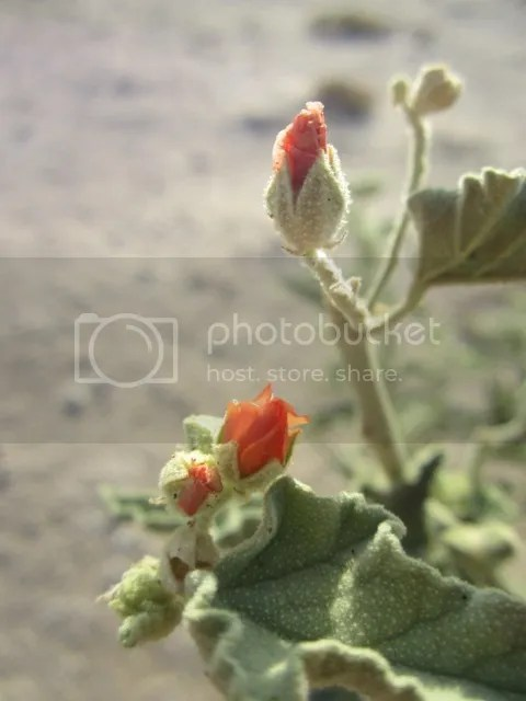 Globe mallow photo SonoranMar20134106a_zps4def644f.jpg