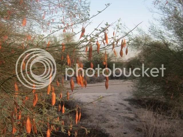 Palo verde seeds