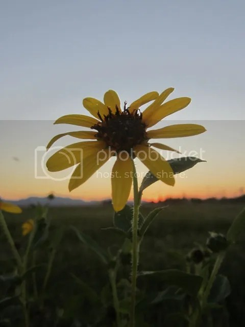 Sunflower at dusk photo SonoranSept20131111a_zps02778ce0.jpg