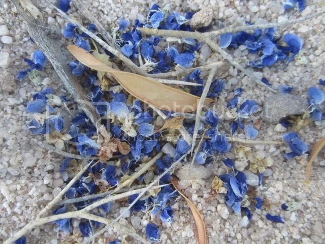 Fallen indigo bush blossoms photo Sonoranindigofallen_zpse06a7309.jpg