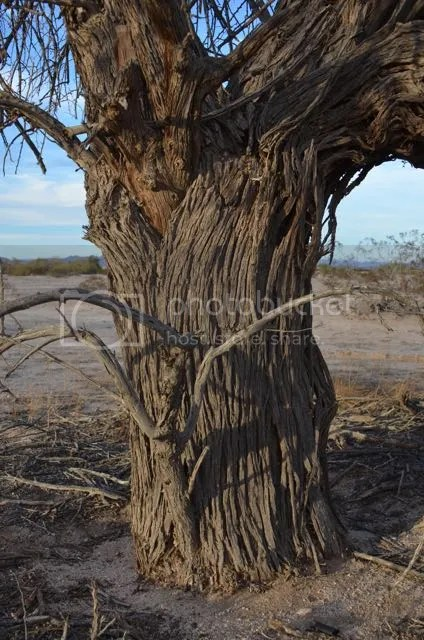 Ironwood tree photo Sonoranironwoodtrunk_zps31c54e14.jpg