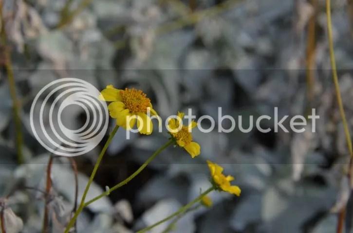 photo Sonorantatteredblooms_zps567a88fd.jpg