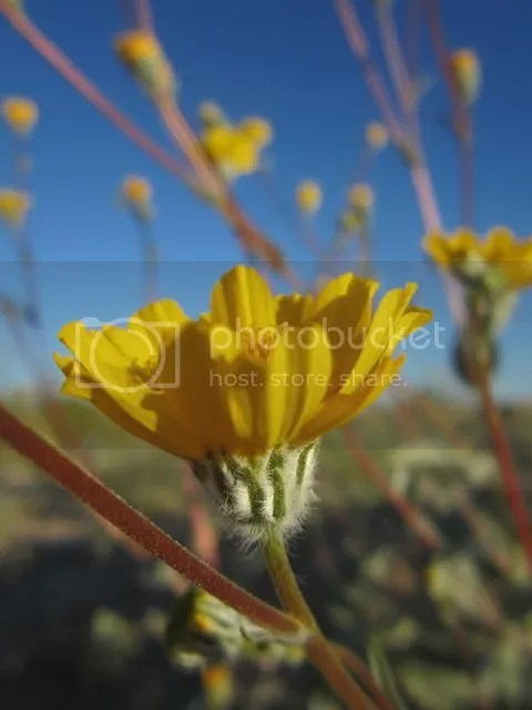 Desert Sunflower ( photo desertsunflower_zpsd548a6ef.jpg