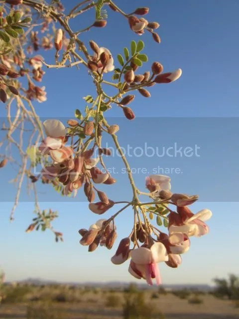 Ironwood blossom photo ironbloom_zpsffd03b1a.jpg