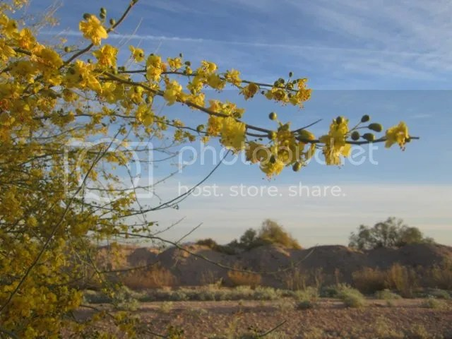 Palo verde blossoms photo paloverdebloom_zpsb6fb9b69.jpg