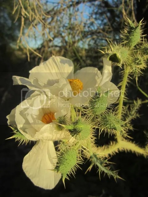 Prickly poppy photo pricklypoppy3_zps1d4896e4.jpg