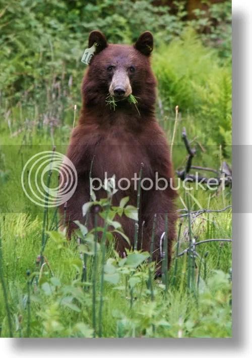black bears photo: BROWN BEAR black-bear1.jpg