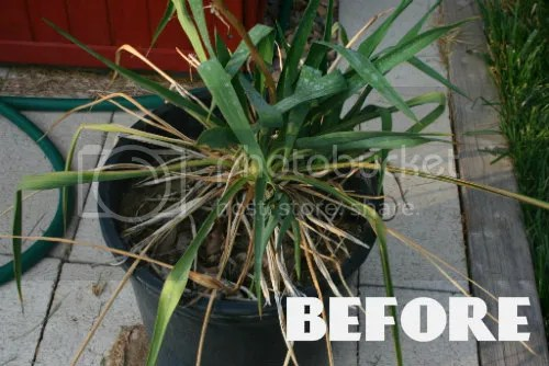 Replanting Yucca plant 1