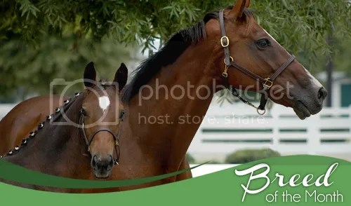 Abler Thoroughbred