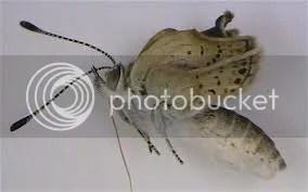 Mutáns pillangók Fukusimában