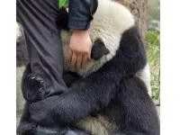 Panda-pánik földrengéskor
