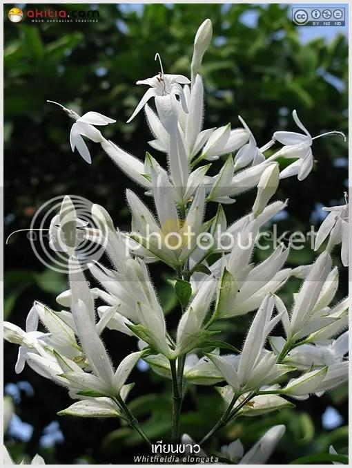 เทียนขาว, Whitfieldia elongata, สังกรณีดอกขาว, White Candles, Whitfieldia longiflora, Ruellia longifolia, ออกดอกฤดูหนาว, ดอกสีขาว, ต้นไม้, ดอกไม้, aKitia.Com