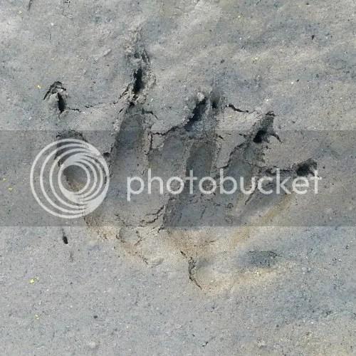 impronta ratto