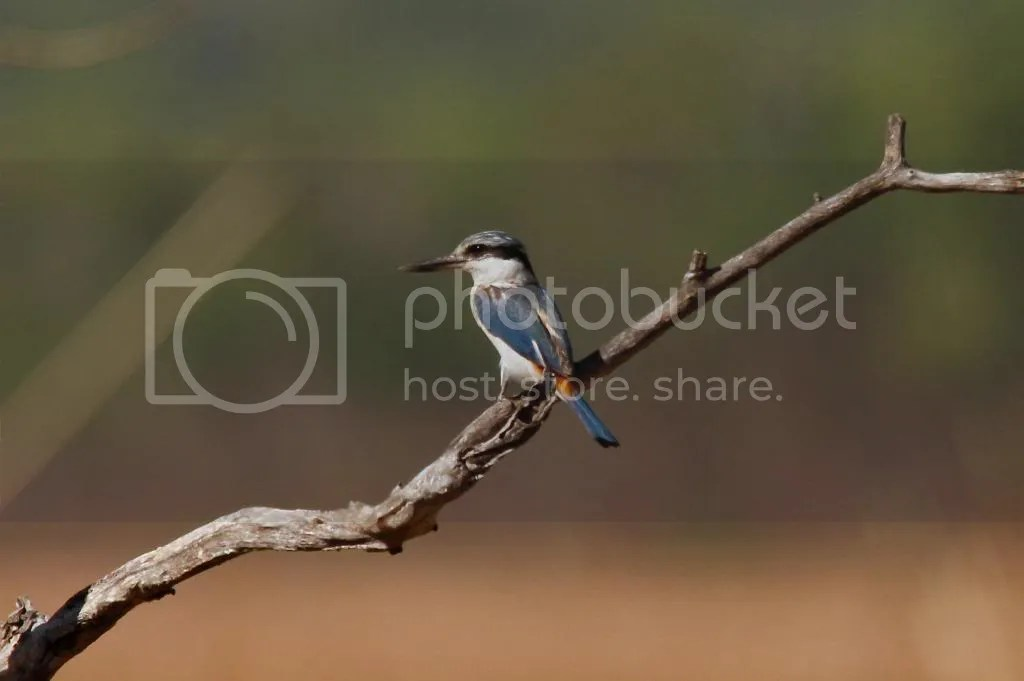 Red-backed Kingfisher by Shailee Shah - La Paz Group