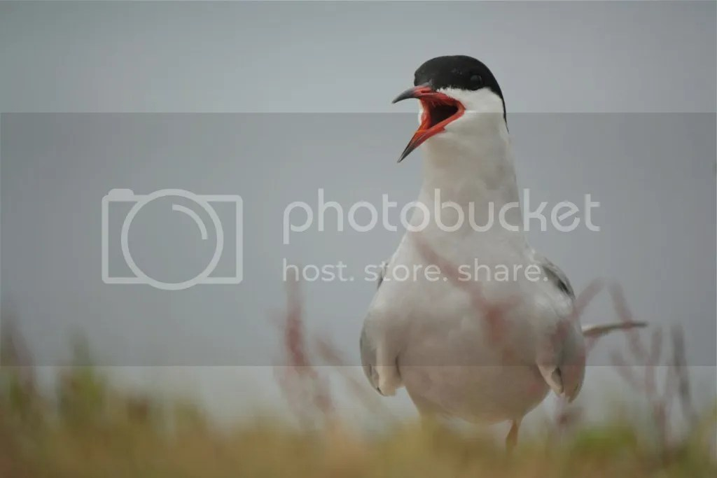 Common Tern by Shailee Shah - La Paz Group