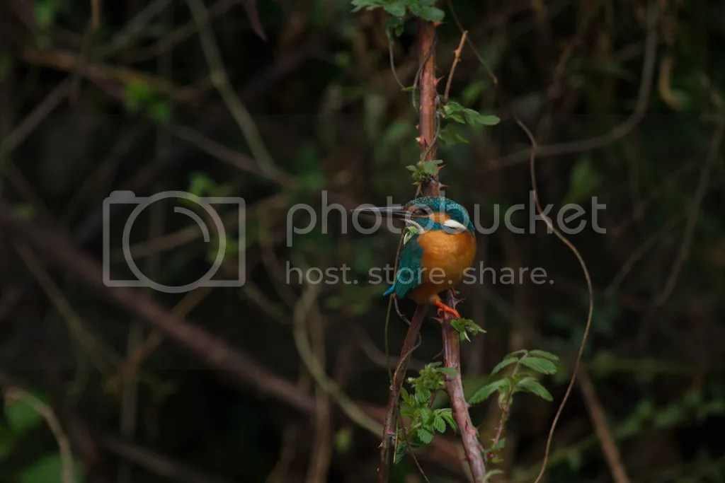 Common Kingfisher by Shailee Shah - La Paz Group
