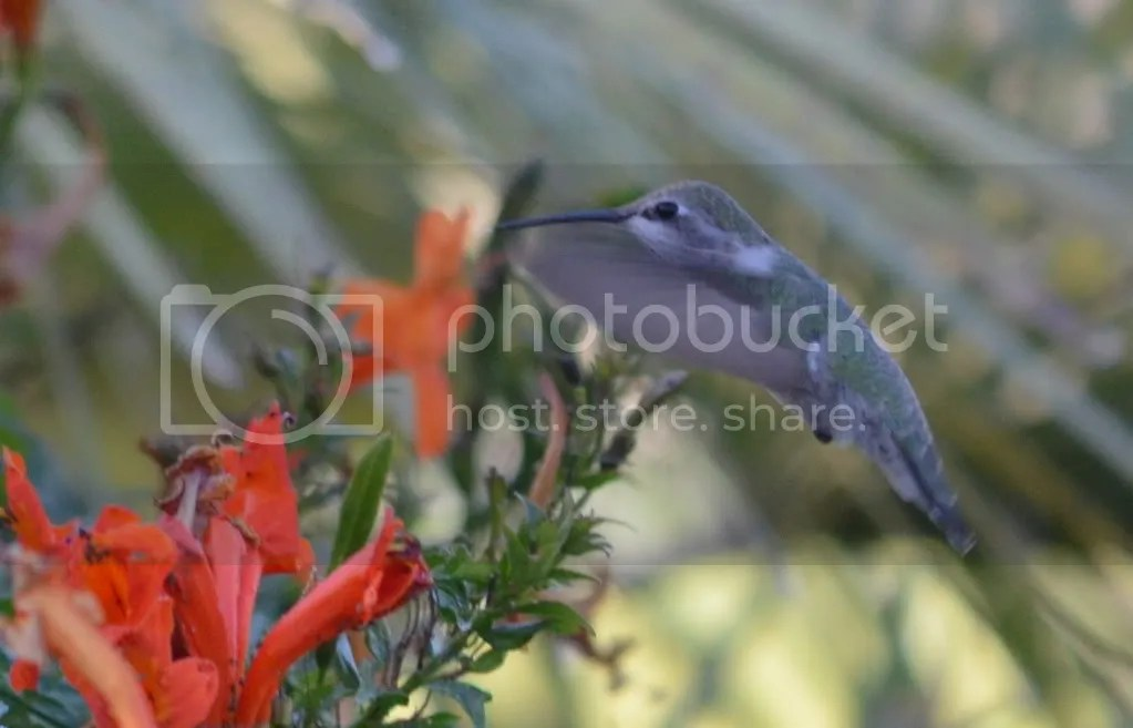 Anna's Hummingbird by Martin Smith - La Paz Group
