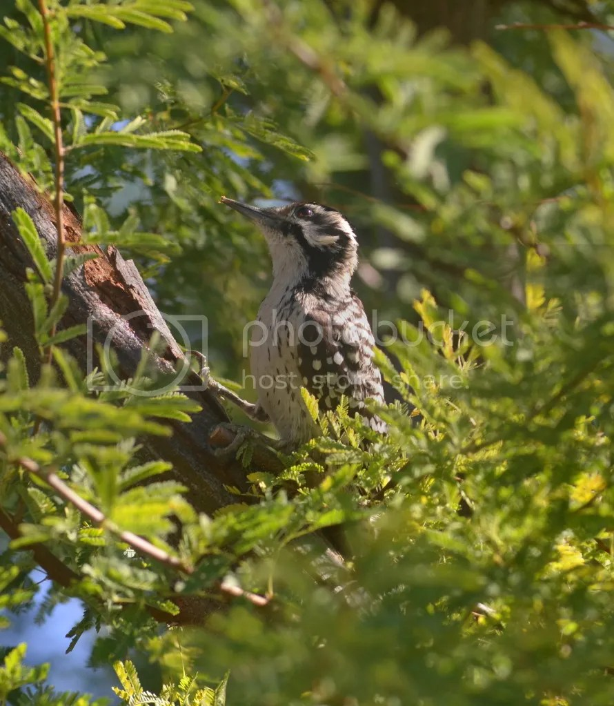 Ladder-backed Woodpecker by Martin Smith - La Paz Group