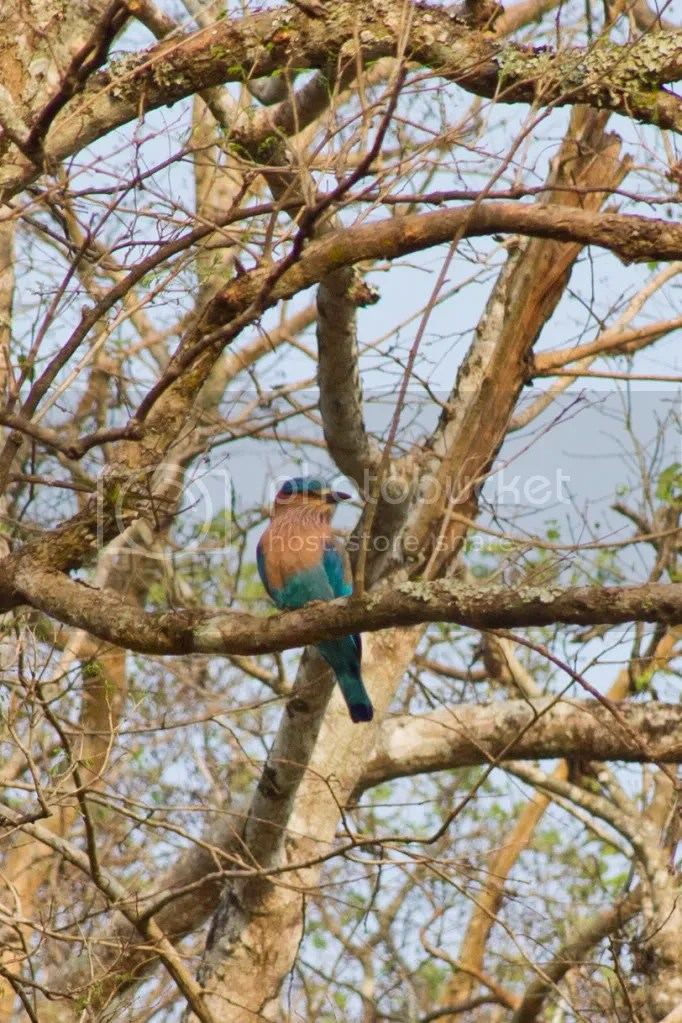 Indian Roller by Milo Inman - La Paz Group