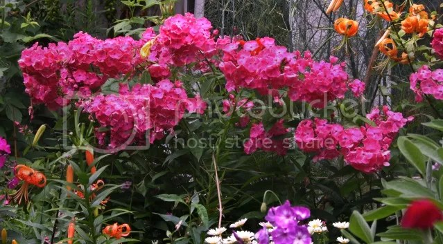 phlox paniculata looking over garden fences. Black Bedroom Furniture Sets. Home Design Ideas