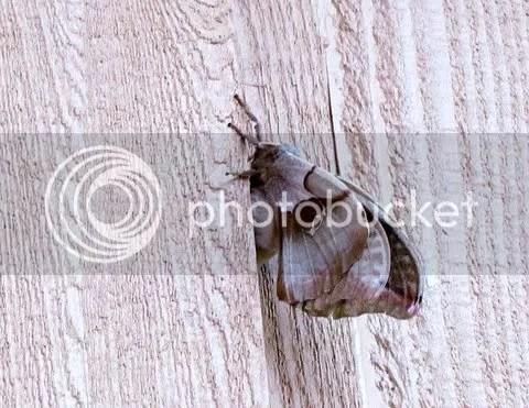 big moth 280511