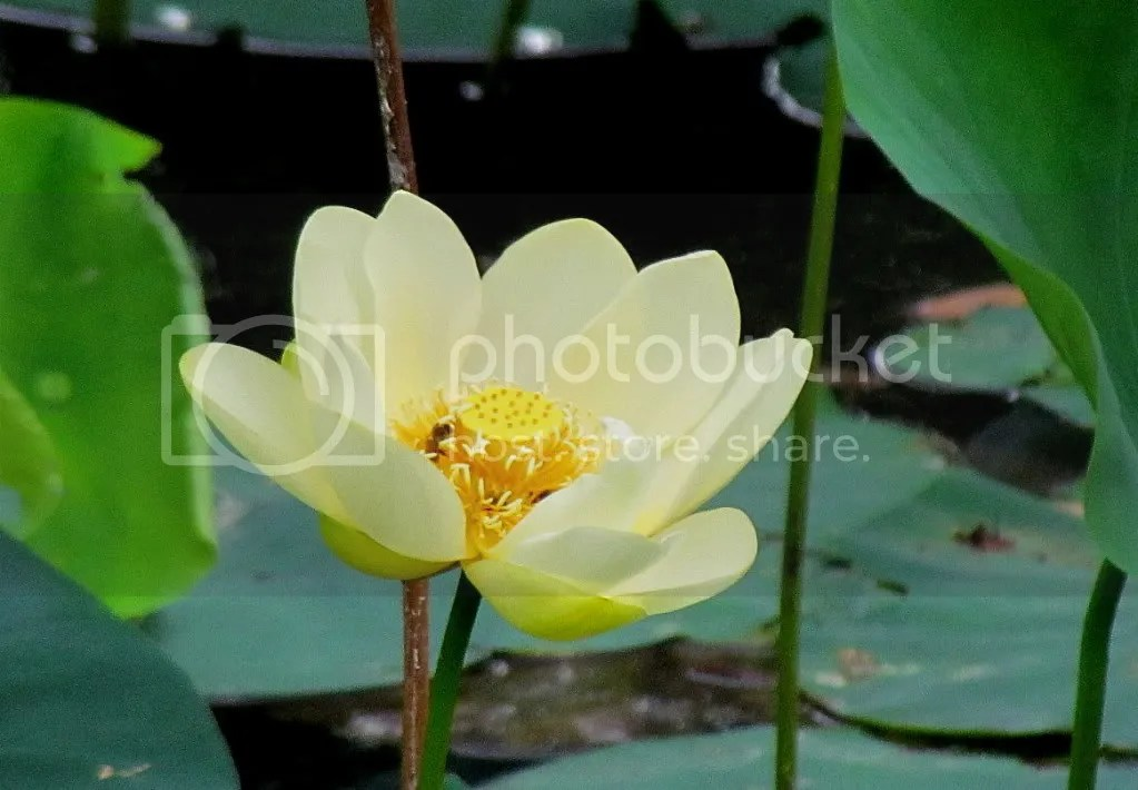 yellow lotus fp 110711 photo IMG_3593-1.jpg
