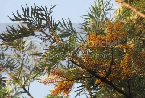 silver oak 150311
