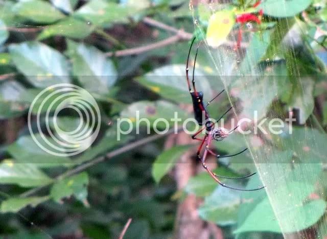 nephila maculata giant wood spider vs 181210
