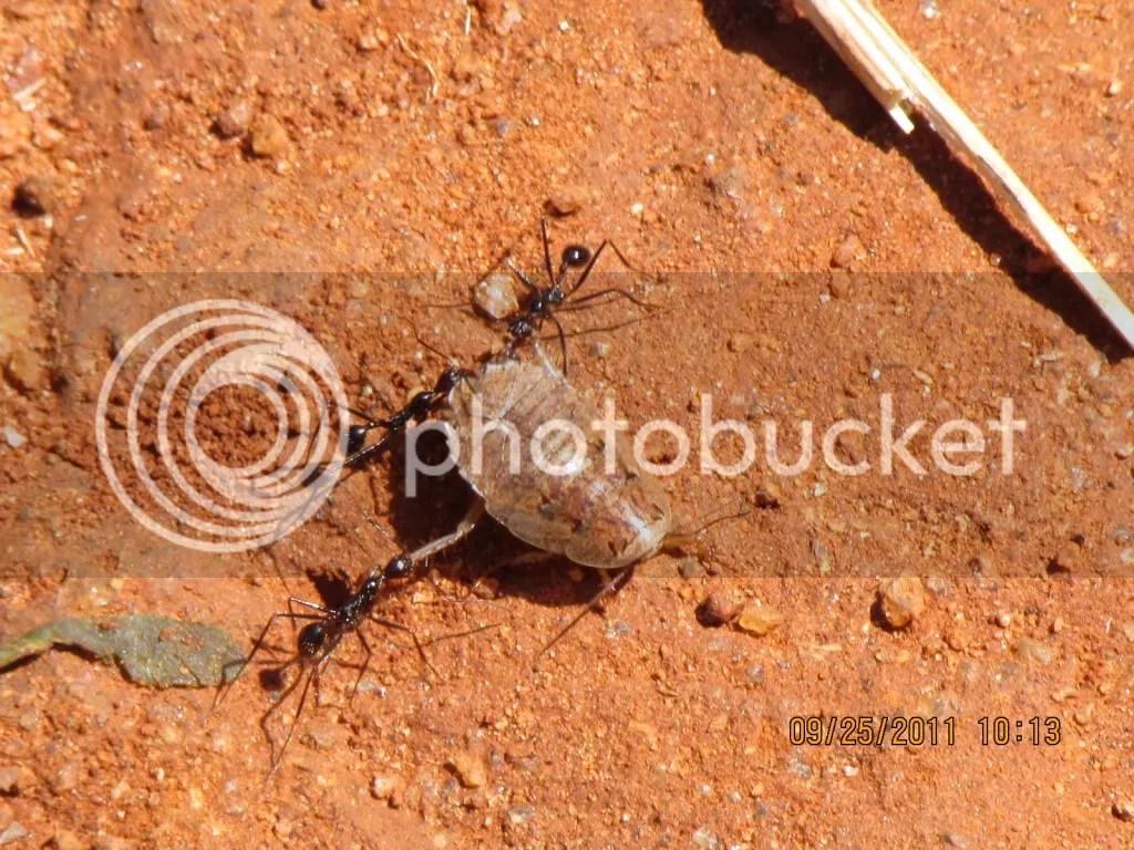 2 ants drgng insct trhli 250911