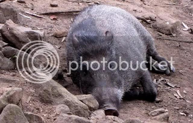 boar 271210